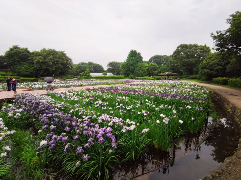 水無月園の花菖蒲
